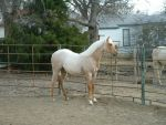 My Palomino Roan filly by basilia-czar