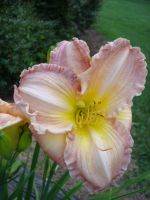 Daylilly Beauty by aragornsparrow