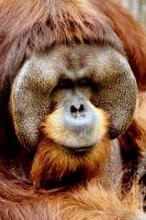 Orangutan 16 by Art-Photo