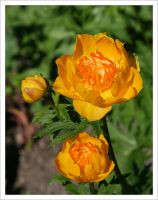 Buttercups by assimilated