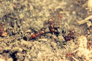 fire ants by denehy