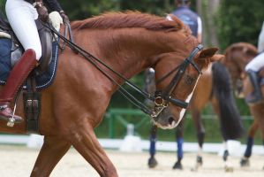 Chestnut Dressage Horse with Curb - Portrait by LuDa-Stock