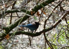 steller's jay by bonnyblue22