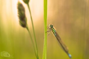 Libelle by sarahbuhr