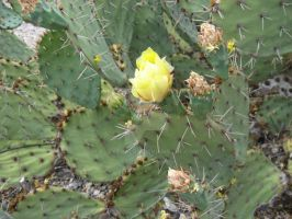 The Yellow Rose of Tucson by EuTytoAlba