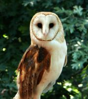 Barn Owl by Eviecats