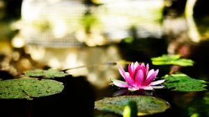 Water Lily by silentscuba