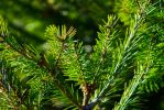 Green Pine by GunGodTheGreat