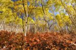 Thick Red Among Aspens by mjohanson