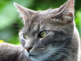 Grey Kitty with Beautiful Green Eyes by Kitteh-Pawz