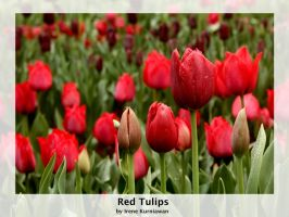 Red Tulips by cionia
