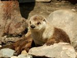 The Detroit Zoo - North American River Otter by GrandeChartreuse