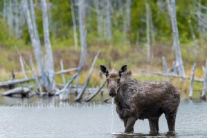 Wading Moose DT8 8622-1 by detphoto