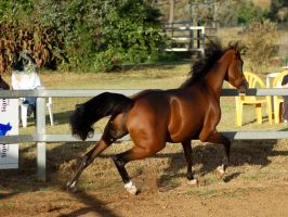 JA Arab Bay trun canter by Chunga-Stock