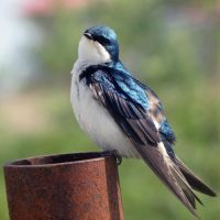 tree swallow 2 by spaghittified