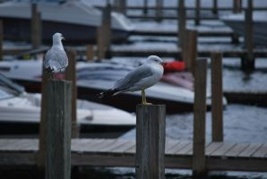 seagull 3 by meihua-stock