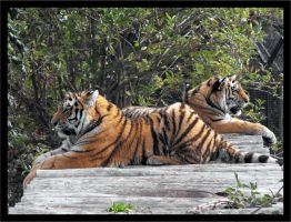 Tigers by cstevenson