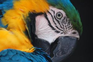 Blue and Yellow Macaw by DanielleMiner
