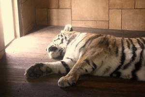 Tired Tiger by RebeccaFB