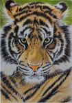Sumatran Tiger coloured pencils by Sarahharas07
