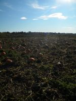 Pumpkin Patch 002 by Stock7000