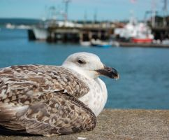 Seagull by Baron-Mookie