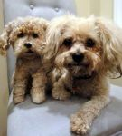 Needle felted custom order pet dog- Pepper by Throughawolfseyes
