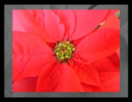 Christmas flower 2 by lucaport