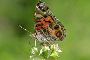 Painted Lady Butterfly by wreckingball34