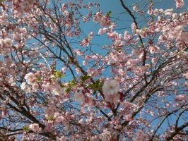 Cherry Blossom by snofs