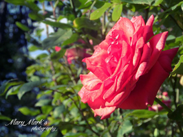Rose Flower I. by Mary-Maya