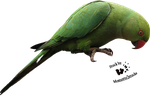 Cut-out stock PNG 52 - nice parrot by Momotte2stocks