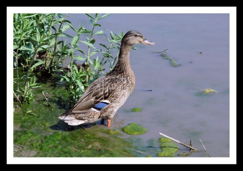Blue Winged Teal by Chris-Tedlock