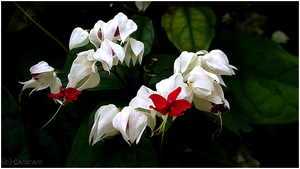 - Red and White Flower - by Cam-lou-photos