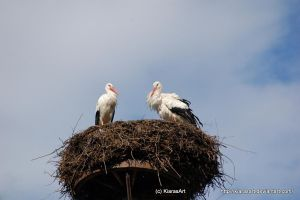 white stork pair by KIARAsART