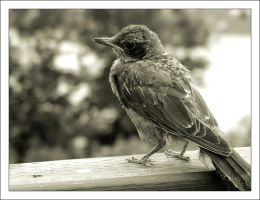 Red Robin - Black and White by Antosia