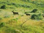 Mule deer family by crimsonravenwarrior