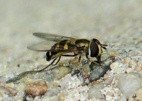 Hoverfly Not Hovering by captpackrat
