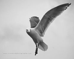 Seagull 03 by TruemarkPhotography