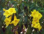 Golden trumpet by LaCleriga