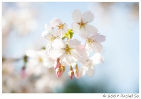 Spring's Pale Beauty by butterfly36rs