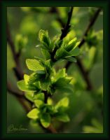 Spring Leaves by barcon53