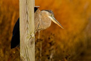 Heron at the Gate by bovey-photo