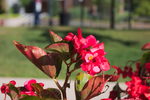 Begonia on the Campus by Geak-of-Nature