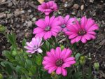 Osteospermums by kayandjay100