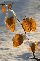 Snowy beech leaves by steppeland