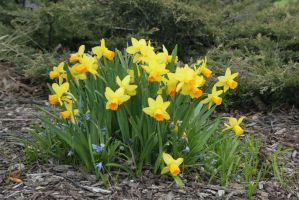Yellow Daffodils by sd-stock