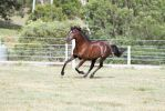DN Black Pony canter front 3/4 view by Chunga-Stock