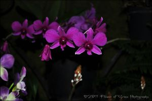 Dendrobium phalaenopsis View 1 by Flower-of-Grace