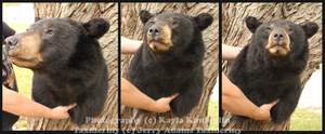 Black Bear Taxidermy by BluesCuriosities